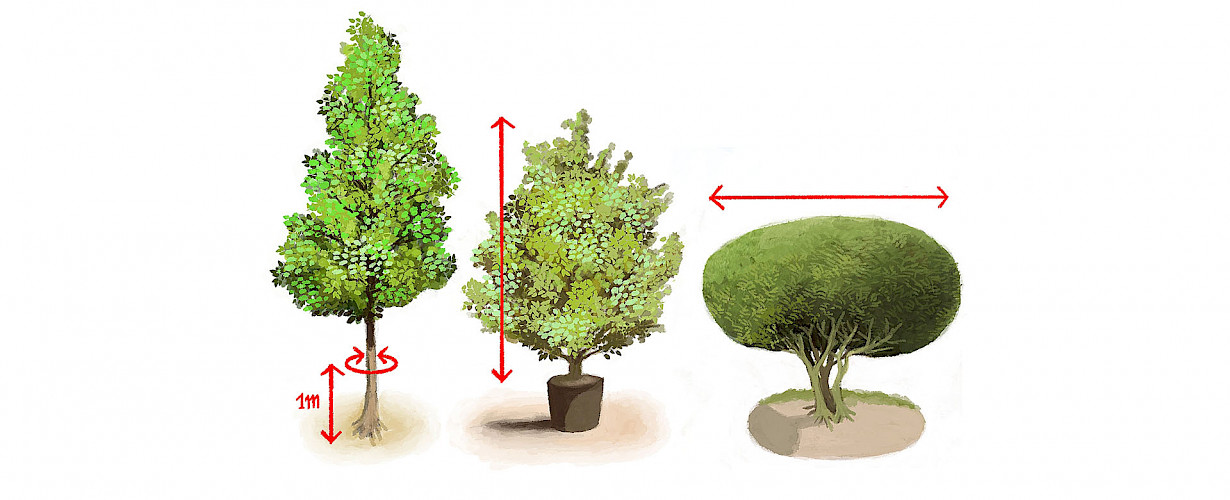 Various size codes are applied to trees in a nursery. The above diagrams show how standard, multi-stemmed and solitary trees are measured.  Further explanation is provided at the bottom of this page and clarification of all the sizes is given in our catalogue.